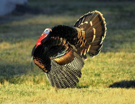 Ox Natgeo Wildd turkey carlsbad new mexico april 2011
