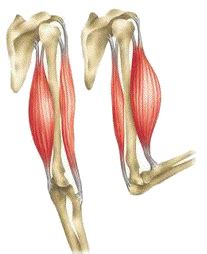 triceps diagram science biology the skeletal muscular systems