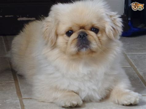 shih tzu pekingese puppies for sale pekatzu pekingese shih tzu puppies for sale leeds west pets4homes