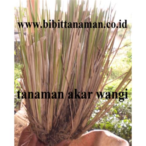 Jual Bibit Cendana Wangi jual bibit tanaman unggul murah di purworejo