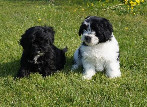 poodle x shih tzu miniture poodle x shih tzu puppies offer 250