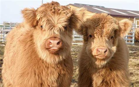 cattle names naming highland cattle the highland cattle society uk
