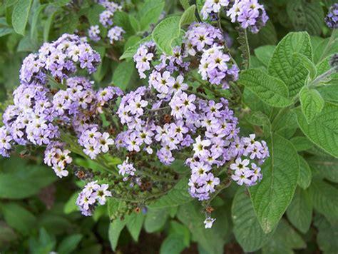 piante profumate da giardino piante profumate l eliotropio pollicegreen