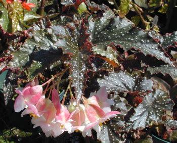 kartuz greenhouses begonia   mummey