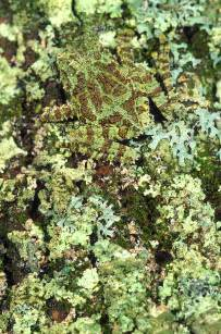 Camo Duvet Cover Camouflaged Vietnamese Mossy Tree Frog Photograph By John