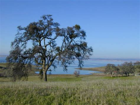 1000 images about oak trees on pinterest trees a hill and napa valley