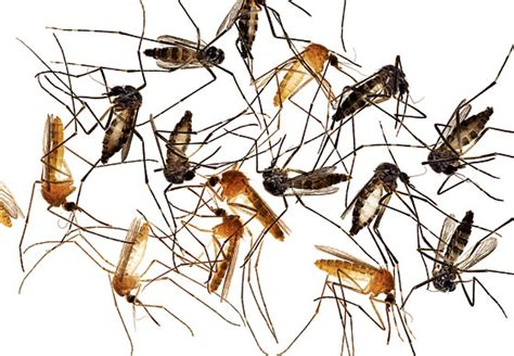 mosquitoes in the house rock neurogenetics lab in the press for mosquito research fashion scents
