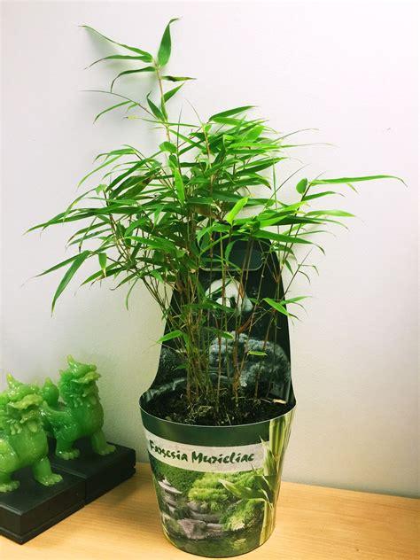 bamboo hardy evergreen gardening house plant  pot