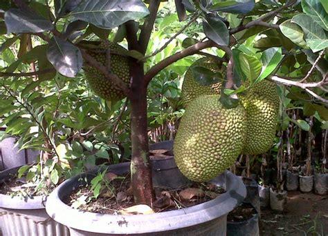 Pupuk Untuk Penyubur Bunga budidaya pohon nangka mini bibitbunga