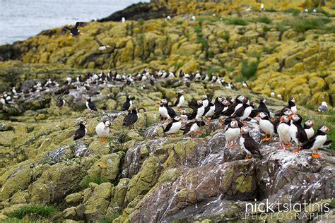 habitat puffin