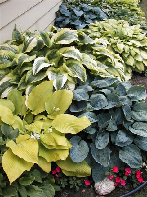 varieties  hostas diy