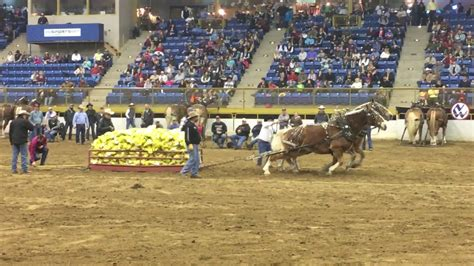 draft horse pull western stock show denver youtube