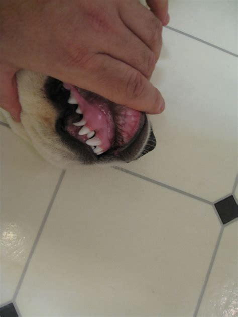 when do puppy teeth come out s baby teeth not fallen out at 5 5 months ask a vet
