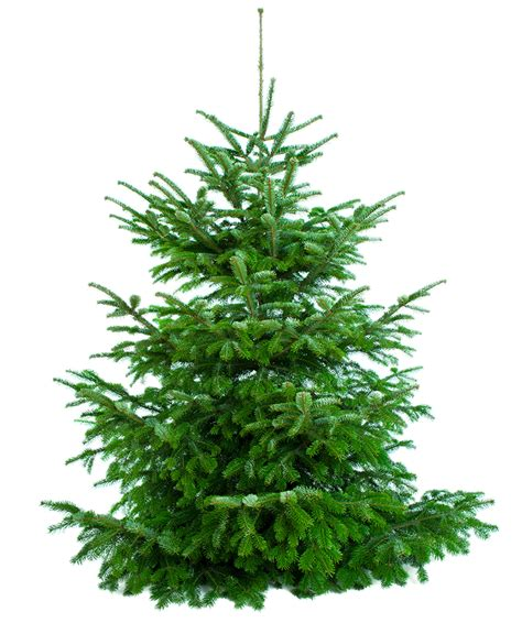 netto tannenservice weihnachtsbaum nordmanntanne
