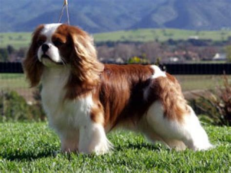 havanese king charles mix cavalier king charles havanese mix breeds picture