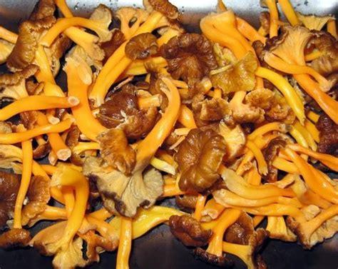come cucinare i funghi finferli come far seccare i finferli 5 passi