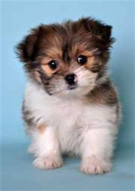 pomeranian and allergies shih pom shih tzu pomeranian animals puppys allergy free and