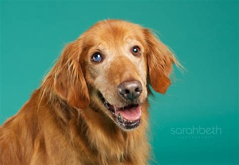 mn golden retriever rescue minneapolis paul minnesota pet photographer studio pet photography