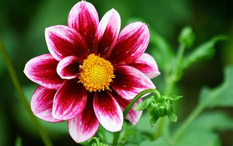 Simple Yet Beautiful Blooms by Beautiful Dahlia Flowers