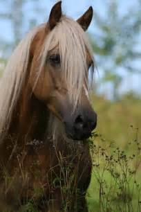 Golden Palomino Arabian Horse