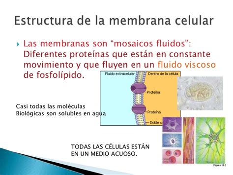 partes de la membrana celular membrana celular estructura y funci 243 n