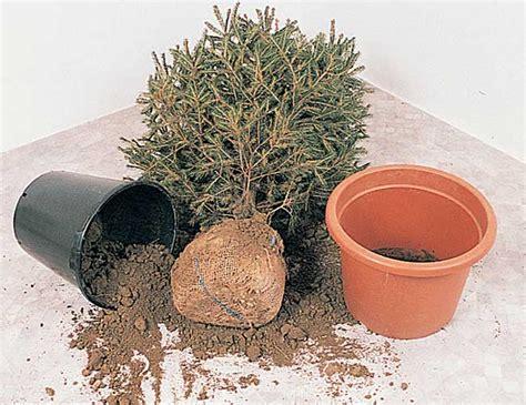 alberelli da vaso alberelli in vaso da esterno excellent awesome alberi