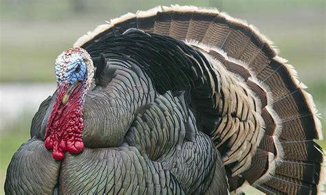 turkey images turkey parks wildlife department