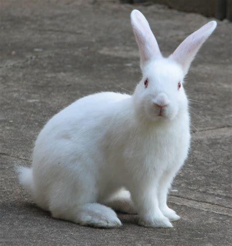 and rabbit rabbit facts description food habits pet care and pictures