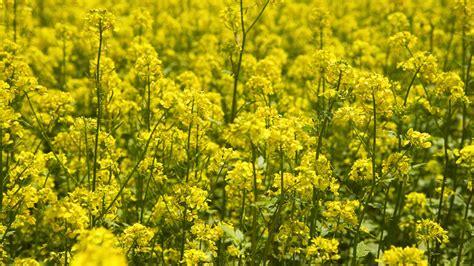 mustard fiori di bach 7 fiori di bach per la mancanza di interesse nel presente
