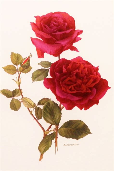 printable rose flowers 1000 images about vintage botanical roses on pinterest