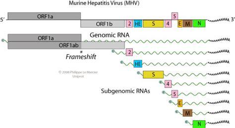 n protein coronavirus genome