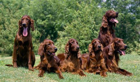 irish setter breed description history  overview