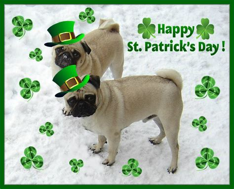 pugs ireland st day pug ireland photo 33714491 fanpop