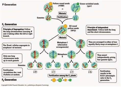 Publications On Resume Example by Chromosome Theory Of Inheritance Jb S Blog