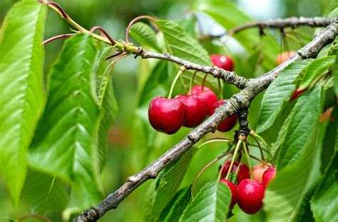 All About Cherries by Cherries How To Plant Grow And Harvest Cherries The