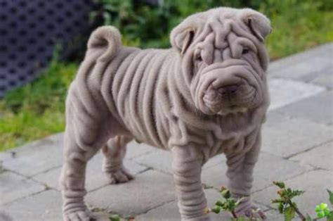 sharpay puppy 50 most beautiful shar pei photos and pictures