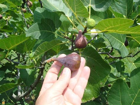 How To Add Privacy To Backyard Brown Turkey Fig Tree For Sale The Planting Tree