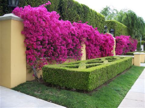 Bibit Bunga Bugenvil 5 jenis tanaman hias outdoor terbaik tahan panas matahari