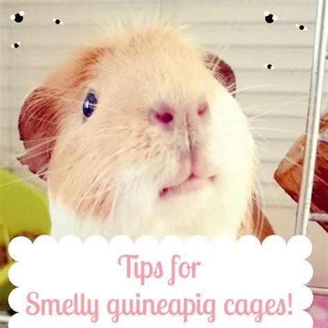 7 Tips On Caring For Pigs by 3 Tips To Tackle A Smelly Guinea Pig Cage Cavy Guinea