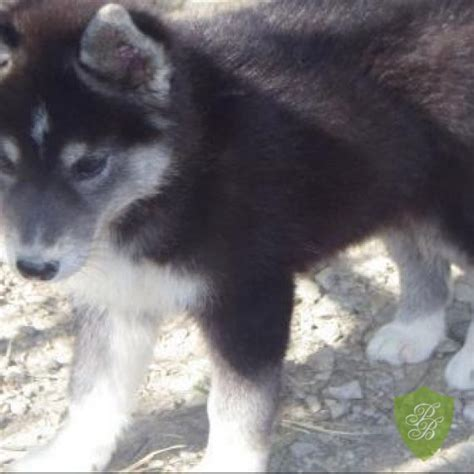 puppies in washington siberian husky puppies for sale in wa state