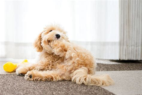 puppies for sale in tx maltipoo characteristics appearance and pictures