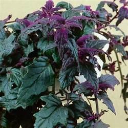 purple velvet plant indoors purple passion gynura