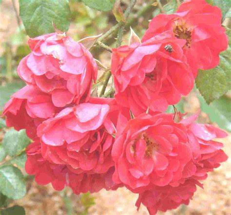 rose information on types of roses history of roses flowers magazine