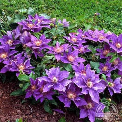 plant profile for clematis bijou flora collection