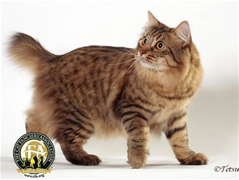 Breed Profile: The American Bobtail