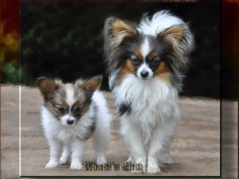teacup papillon puppies for sale small papillon puppies for sale breeds picture
