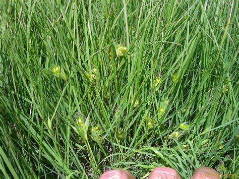 buffalo grass seeds warner brothers seed company