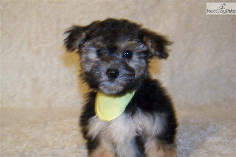 yorkie poo information care yorkie poo puppies yorkie care breeds picture