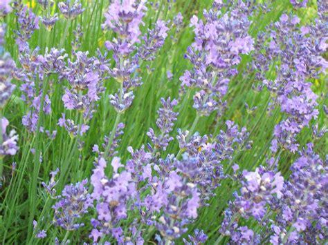 Lavendel Blue Cushion 3240 lavendel blue cushion lavender blue cushion