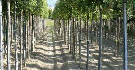 alberelli da giardino sempreverdi alberi sempre verdi e a foglia caduca poli vivai